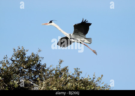 Grey Heron (Ardea cinerea), in flight landing at nest, Portugal - Stock Photo