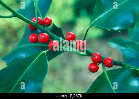 Holly (Ilex aquifolium), close up of berries and leaves, Germany - Stock Photo