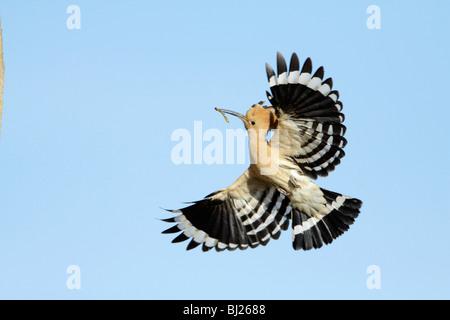 Hoopoe (Upupa epops), in flight with food in bill, Portugal