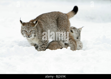 European Lynx, Felis lynx, two playing in snow, Germany - Stock Photo