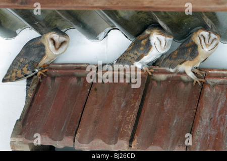 Barn Owl, Tyto alba, three resting during daytime, in building, Germany - Stock Photo