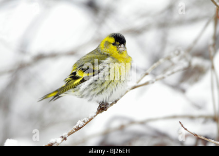 Siskin, Carduelis spinus, male perched on snow coverd branch in garden, winter, Germany - Stock Photo
