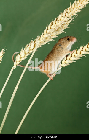 Harvest Mouse (Micromys minutus) - climbing using prehensile tail, between wheat stalks - Stock Photo