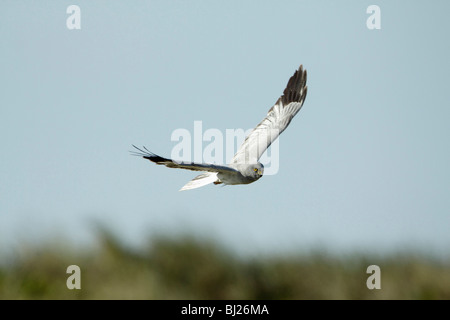 Hen harrier (Circus cyaneus) Male hunting over sand dunes, Texel, Holland - Stock Photo