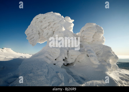 Snow covered Norway Spruce trees, Picea abies, in winter, Brocken mountain, National Park Hochharz, Saxony Anhalt, - Stock Photo