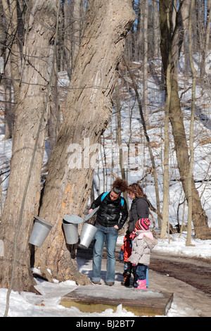 People visiting maple forest where trees were tapped with pails to collect sap for syrup in early spring - Stock Photo