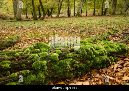 White fork moss Leucobryum glaucum , on fallen oak trunk Quercus robur,  in New Forest with fill-flash - Stock Photo