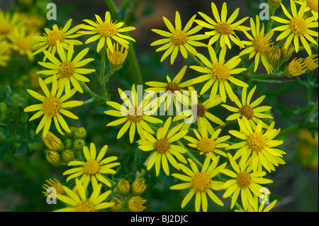 Ragwort, Senecio jacobaea, flower head attracts many insect visitors - Stock Photo