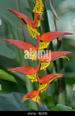 Heliconia collinsiana var collinsiana, a pendent heliconia in fruit from Honduras - Stock Photo