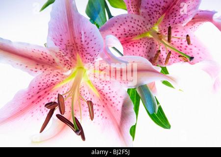 Tiger lily. Oregon - Stock Photo
