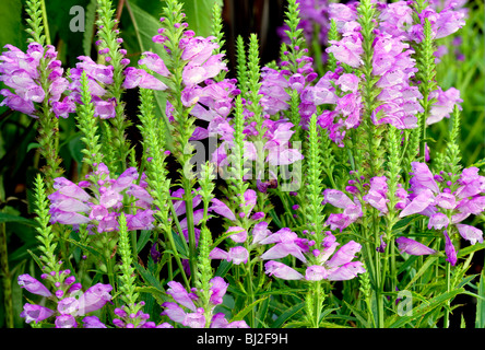 'Vivid' Obedient Plant (Physostegia 'Vivid'} blossoms. Al's Garden Center. Oregon - Stock Photo