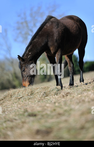 Horse in winter coat feeding on hay - Stock Photo