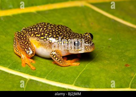 White-spotted reed frog, Heterixalus alboguttatus, female, Madagascar - Stock Photo