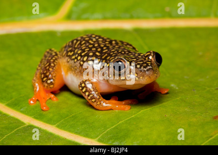 White-spotted reed frog, Heterixalus alboguttatus, female, Madagascar - Stock Photo