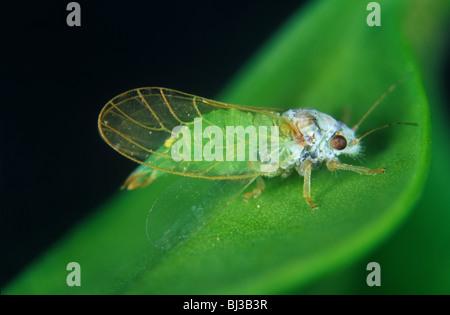 Box sucker (Psylla buxi) adult on box (Buxus sempervirens) - Stock Photo