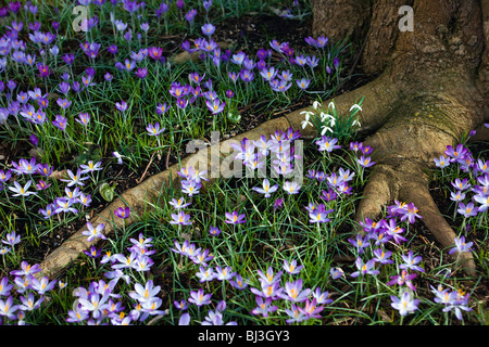 Crocus flowers and snowdrops around a tree root in Kew gardens - Stock Photo