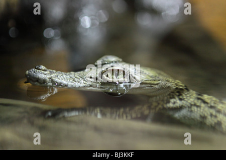 A baby crocodile floats on the surface of the water.  Shot in NSW, Australia. - Stock Photo