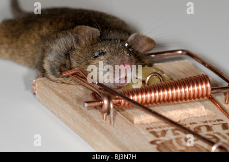 dead mouse caught in a spring mouse trap plain background cheese bait baited
