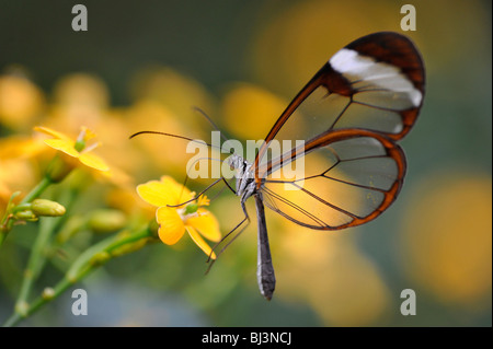 Glass wing butterfly (Greta oto), South America - Stock Photo