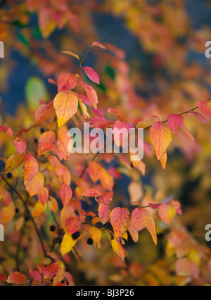 Wild huckleberry plants (Vaccinium) with leaves in brilliant fall color, Montana, USA - Stock Photo