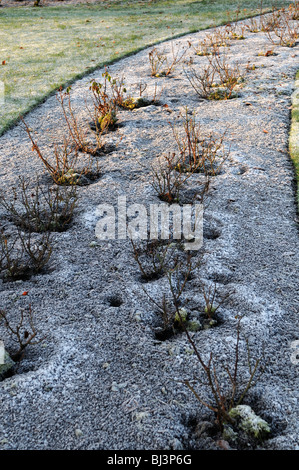 frost covered cover hoar rose flower bed winter garden   hard conditions - Stock Photo