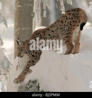 European lynx (Lynx lynx) in the snow - Stock Photo