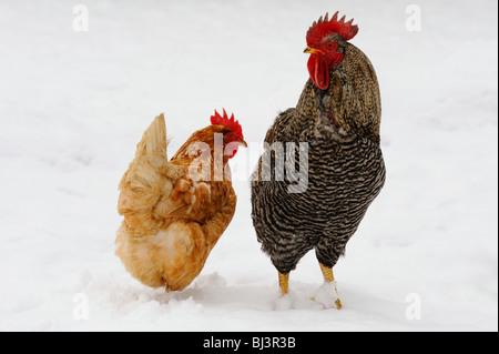 Domestic fowl (Gallus gallus domesticus) - Stock Photo