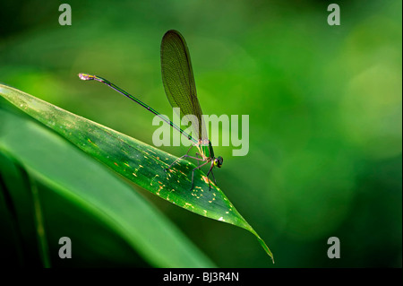 Insects of the jungle of Laos. Dragonfly Vestalis gracilis - Stock Photo