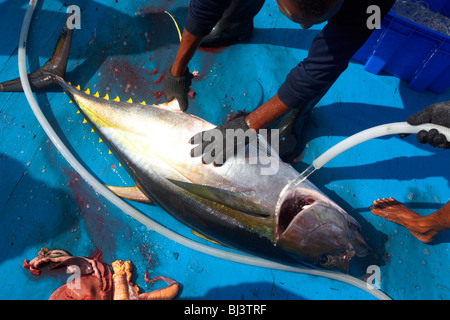 A yellow fin tuna is hosed down while dead on the floor of a dhoni boat in the Indian Ocean. - Stock Photo
