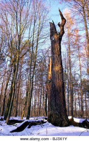 Dead oak in German forest - Stock Photo
