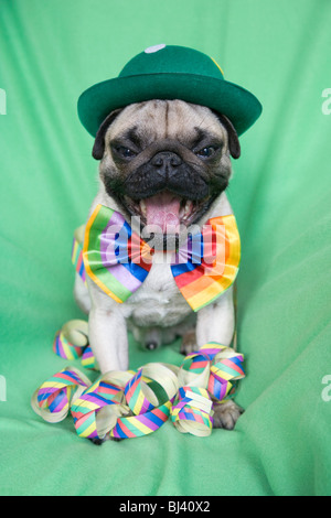 Young pug with a green hat, a colorful bow tie and streamers yawning heartily - Stock Photo