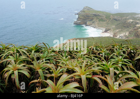 Aloe arborescens (Aloe arborescens), Diaz Beach, Cape of Good Hope, view from Cape Point, Cape Province, South Africa, - Stock Photo