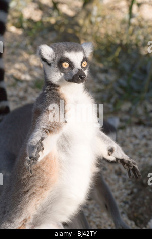 Ring-tailed Lemur (Lemur catta). Exposing front to the sun. Sun bathing. - Stock Photo