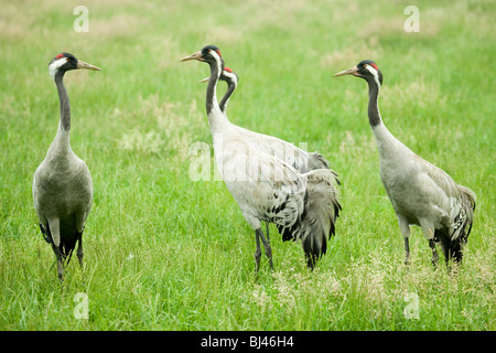 Common, European or Eurasian Cranes (Grus grus). Pre-breeding assembly. - Stock Photo