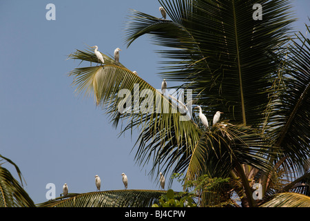 India, Kerala, Alappuzha, Chennamkary, backwaters, white Great Egrets roosting on coconut palm fronds - Stock Photo
