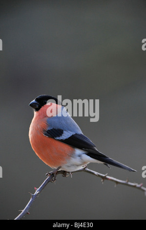 Common Bullfinch or Eurasian Bullfinch (Pyrrhula pyrrhula) - Stock Photo