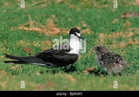Sooty Tern (Sterna fuscata), adult with chick, Lord Howe Island, Australia - Stock Photo