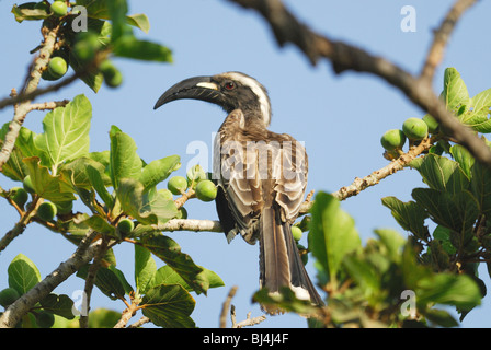 Male African Grey Hornbill (Tockus nasutus) in a fruit tree in The Gambia, Western Africa. April 2009. - Stock Photo