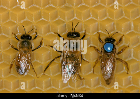 Honey Bee (Apis mellifera), worker left, drone centre, and queen right - Stock Photo