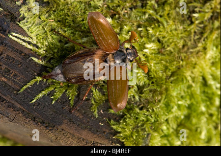 Cockchafer or May bug, Melolontha melolontha, about to take off - Stock Photo