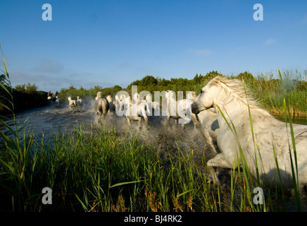 The white Horses of  the Camargue running through a canal - Stock Photo