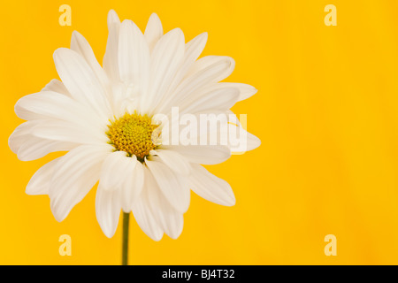 white and yellow daisy on a handpained watercolor background - Stock Photo