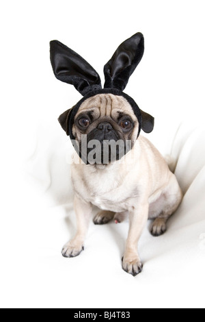 Young pug with black bunny ears - Stock Photo