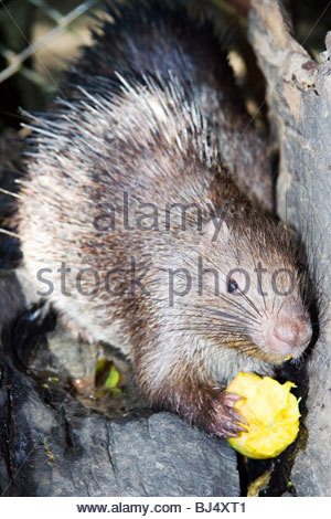 An Asian porcupine eating fruit - Stock Photo