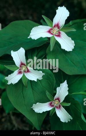 Painted Trillium Trillium undulatum  Eastern and Southeastern USA - Stock Photo