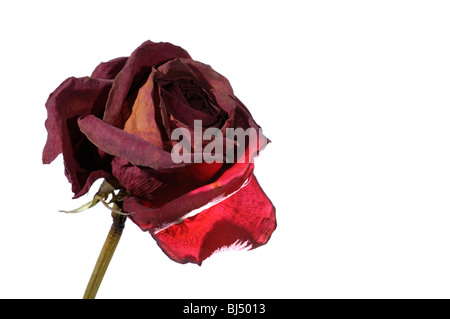 Withered dark red rose closeup isolated silhouette on white background - Stock Photo