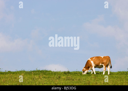 A cow on a field - Stock Photo
