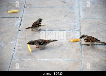 Sparrows Feeding on Chips - Stock Photo