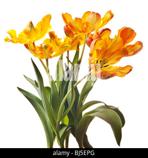 yellow tulip isolated on white background - Stock Photo