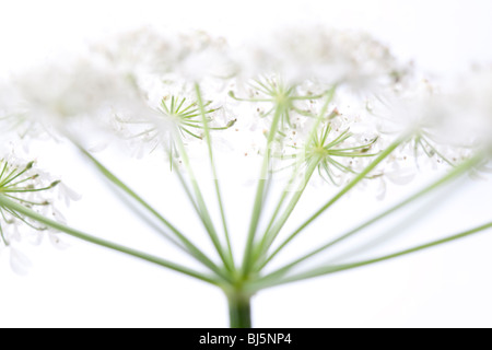 Common Hogweed Heracleum sphondylium - Stock Photo